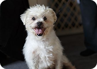 Bichon Frise/Lhasa Apso Mix Dog for adoption in Rigaud, Quebec - Max
