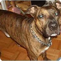 Adopt A Pet :: Ozzie - Rigaud, QC