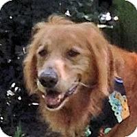 Adopt A Pet :: Spencer - Cheshire, CT