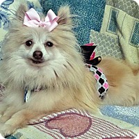 Adopt A Pet :: Brooke - Harrisburg, PA
