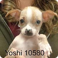 Adopt A Pet :: Yoshi - baltimore, MD