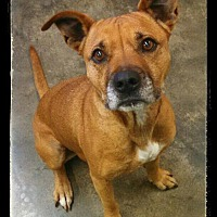 Pit Bull Terrier Mix Dog for adoption in Salisbury, North Carolina - Jeneen