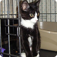 Adopt A Pet :: Cookie - Kensington, MD