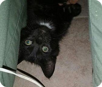 Domestic Shorthair Cat for adoption in Long Beach, California - Soli