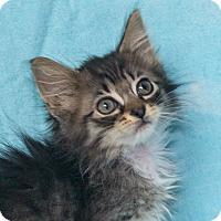 Adopt A Pet :: Storm - Elmwood Park, NJ