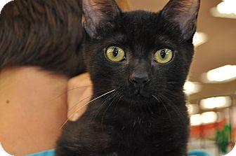 Domestic Shorthair Kitten for adoption in La Canada Flintridge, California - Dusty