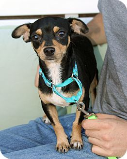 Chihuahua/Terrier (Unknown Type, Small) Mix Dog for adoption in Harrison, New York - Migual