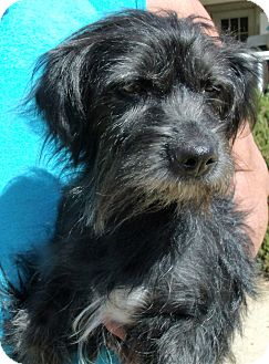 Scottie, Scottish Terrier/Terrier (Unknown Type, Small) Mix Dog for adoption in Corona, California - DUTCHESS