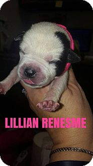 Pit Bull Terrier Puppy for adoption in New York, New York - Lillian Renesme