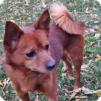Finnish Spitz Mix Dog for adoption in Midvale, Utah - spanky