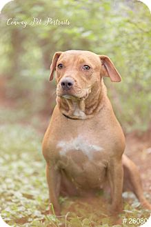Rhodesian Ridgeback Mix Dog for adoption in Beaumont, Texas - Betty Boo