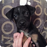 Belgian Malinois Mix Puppy for adoption in Ft. Lauderdale, Florida - Marcus