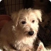 Adopt A Pet :: Shep - Rye, NH