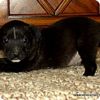 Labrador Retriever/Flat-Coated Retriever Mix Puppy for adoption in Waterbury, Connecticut - DOC