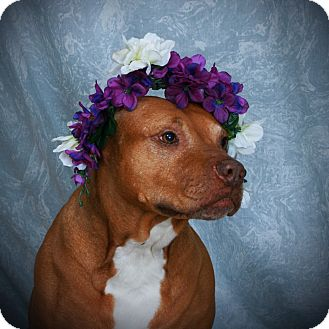 Pit Bull Terrier Mix Dog for adoption in Toms River, New Jersey - Shiva Diva
