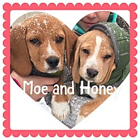 Adopt A Pet :: Moe - bridgeport, CT