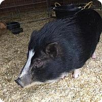 Pig (Potbellied) for adoption in Methuen, Massachusetts - BABE