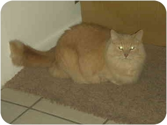 Domestic Mediumhair Cat for adoption in Washington Terrace, Utah - Crooksie