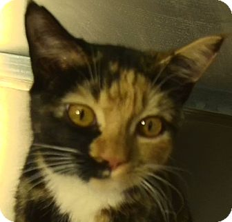 Domestic Shorthair Kitten for adoption in El Cajon, California - Cookie
