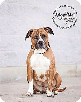 Boxer/American Pit Bull Terrier Mix Dog for adoption in Medina, Ohio - Pippa