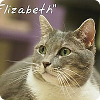 Domestic Shorthair Cat for adoption in Ocean City, New Jersey - Elizabeth