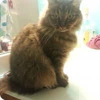 Maine Coon Cat for adoption in Absecon, New Jersey - Squirrel