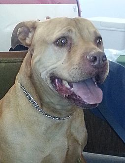 Pit Bull Terrier Dog for adoption in Silver Spring, Maryland - Brooklyn