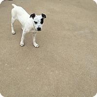 Adopt A Pet :: Pixie - Fayetteville, AR