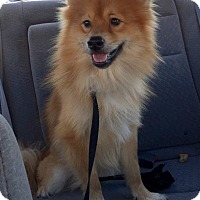 Adopt A Pet :: thor - conroe, TX