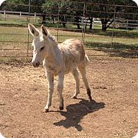 Adopt A Pet :: Burrito - Austin, TX