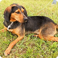 Black and Tan Coonhound/Redbone Coonhound Mix Dog for adoption in Westport, Connecticut - Levi