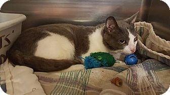 Domestic Shorthair Kitten for adoption in Morganton, North Carolina - Mr Gray