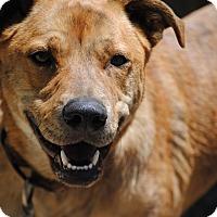 Adopt A Pet :: Gunner - Breinigsville, PA