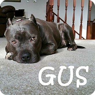 Pit Bull Terrier Mix Dog for adoption in Chicagoland area, Illinois - GUS