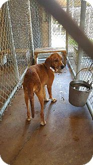 Labrador Retriever Mix Dog for adoption in Livingston Parish, Louisiana - Jeb