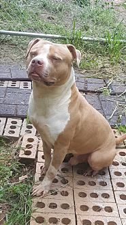American Pit Bull Terrier Mix Dog for adoption in East Orange, New Jersey - Rachet