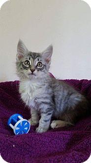 Domestic Shorthair Kitten for adoption in Newport, Kentucky - Dusty