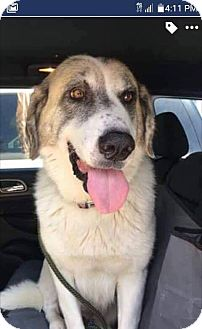 Anatolian Shepherd/Great Pyrenees Mix Dog for adoption in Elgin, Illinois - Mistique