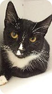 Domestic Shorthair Cat for adoption in Queenstown, Maryland - Catsy Cline