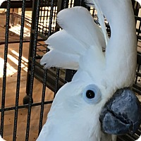 Cockatoo for adoption in Punta Gorda, Florida - Blue
