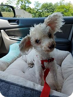 Poodle (Miniature) Dog for adoption in Madison, Wisconsin - Buttercup: Little Ballarina PA