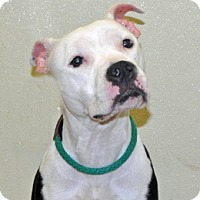 Pit Bull Terrier Mix Dog for adoption in Port Washington, New York - Dove