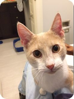 Domestic Shorthair Cat for adoption in Houston, Texas - Tommy