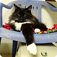 Domestic Mediumhair Cat for adoption in Belleville, Michigan - Nibbles