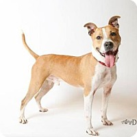 Pit Bull Terrier Dog for adoption in Johnson City, Tennessee - brodie/tank