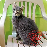 Domestic Shorthair Cat for adoption in Janesville, Wisconsin - Bobby Boucher