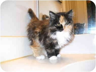 Domestic Longhair Kitten for adoption in Washington Terrace, Utah - Callie Sue