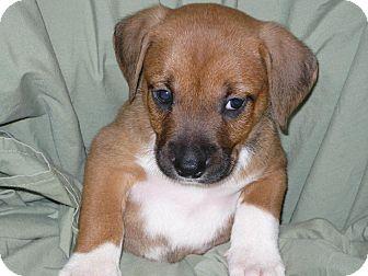 Boxer/Feist Mix Puppy for adoption in Princeton, Kentucky - Freddie