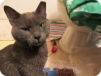 Domestic Shorthair Cat for adoption in Chicago, Illinois - Atlas