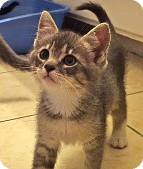 Abyssinian Kitten for adoption in Escondido, California - Ming